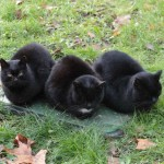 chats-noirs-5693
