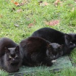 chats-noirs-5694