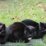 chats-noirs-5695