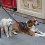 chiens-pcx-43-4230