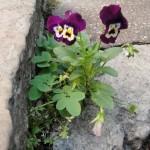 fleur-de-pierre-9841