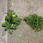 fleurs urbaines contre béton armé