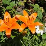 fleurs-de-narcyza-pcx-65-844