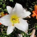 fleurs-de-narcyza-pcx-65-845