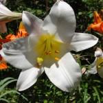 fleurs-de-narcyza-pcx-65-846
