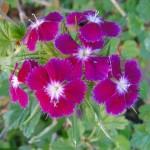 fleurs-de-narcyza-pcx-65-847