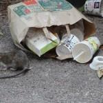 rat-de-ville-5646