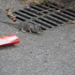 rat-de-ville-5647