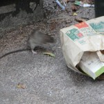 rat-de-ville-5653