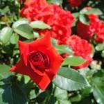 rose-jardin-des-plantes-pcx-66-1192
