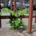 Encore une plante prisonnière